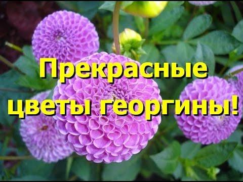 Прекрасные цветы георгины. Георгины фото