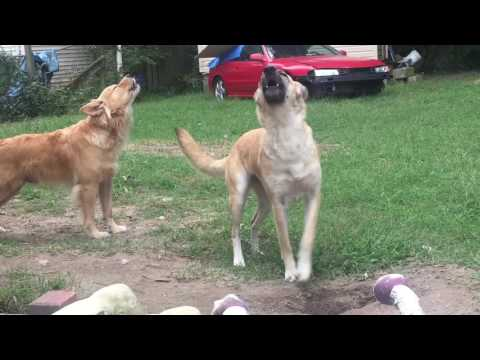 The Cutest Dogs around! German Shepard Dogs: Howling with sirens