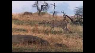 Hunt with me (John Varty describes cheetah hunts)