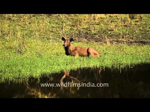 Giant male sambar deer in Kanha National Park