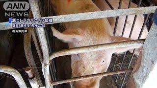 豚コレラワクチン接種の肉 流通前に安全性アピール(19/11/11)