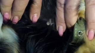 #3 Клещ на собаке. Как вытащить клеща у собаки. How to remove the tick from the dogs. 怎麼去去掉勾選