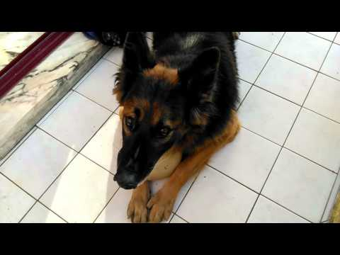 Angry german shepherd (attack) dont give his ball