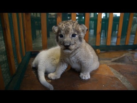 Skyla And Coby , 2 weeks lion cubs
