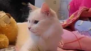 «Самая красивая порода кошек - Турецкая ангора!»