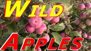 Gorilla Style Wild Apple Picking Really Early! #116 Heirloom Organic Vegetable Garden
