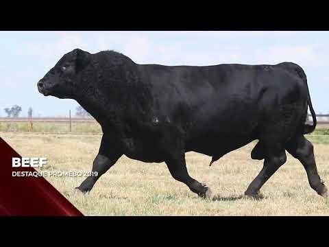 Touro Beef - Aberdeen Angus indicado para IATF - RENASCER BIOTECNOLOGIA VIDEO