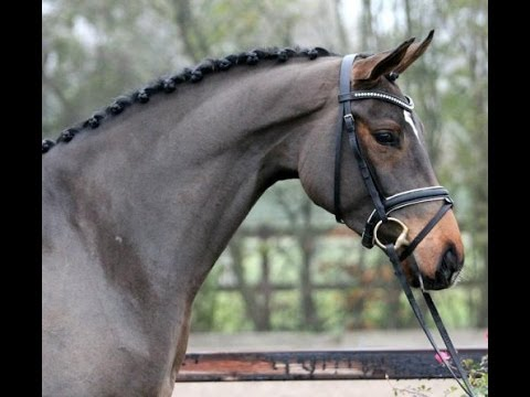 SOLD 2014 Oldenburg stallion by FRANZISKUS with top movements ! www.sporthorses-online.com from YouTube · Duration:  45 seconds