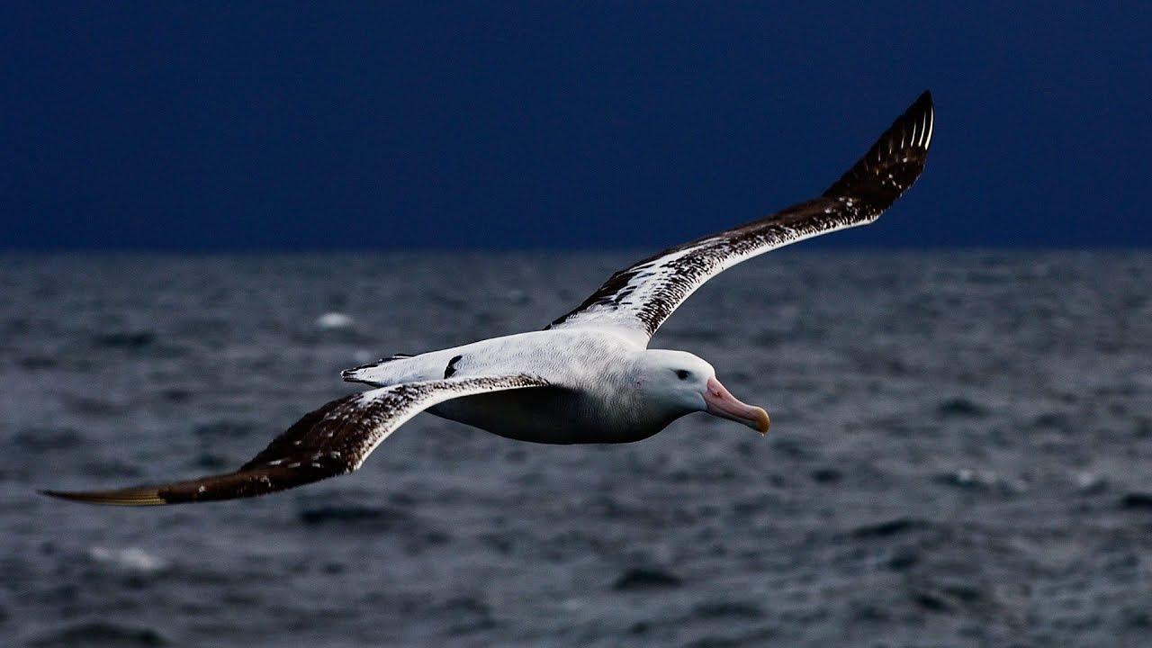 все тебе красивые фото альбатрос живет небольшом