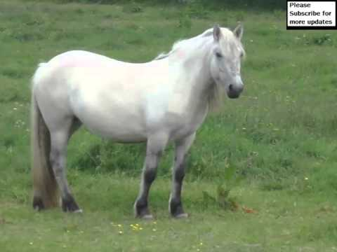 Highland Pony Horse | Horse Picture Collection