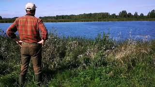 Chesapeake bay retriever Basti in ducks hunting