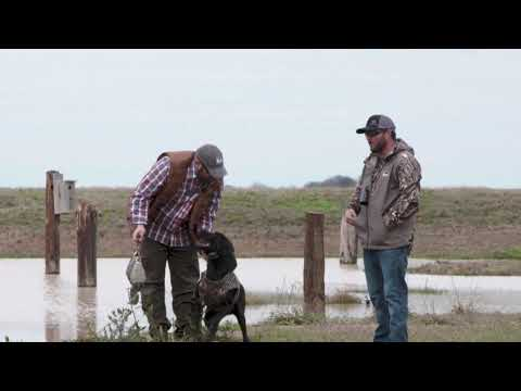 Diversion Bird Training For Hunting Dogs