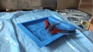 Rosella Crimson take a bath