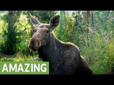 Wild orphaned moose calf enjoys life on the farm