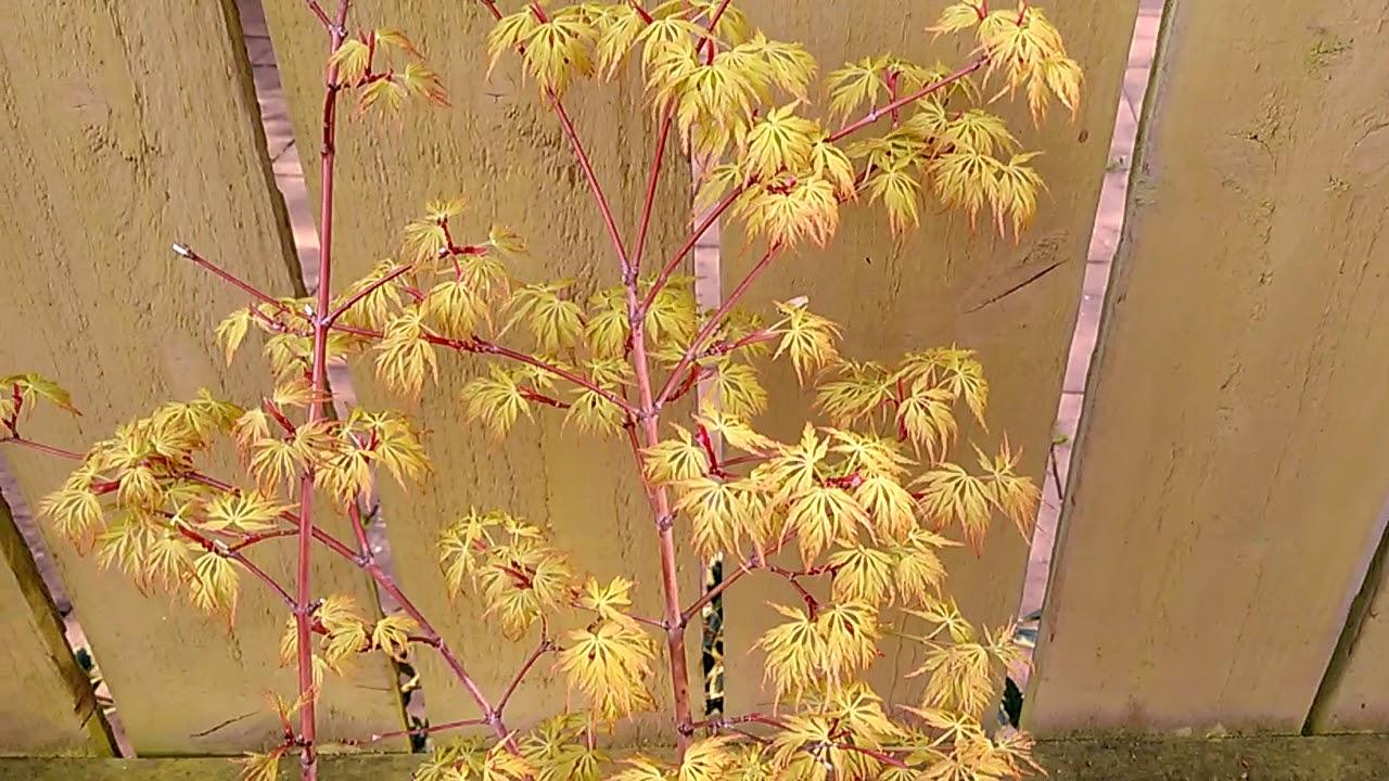 Japanese Maple Acer Palmatum Seiryu Youtube