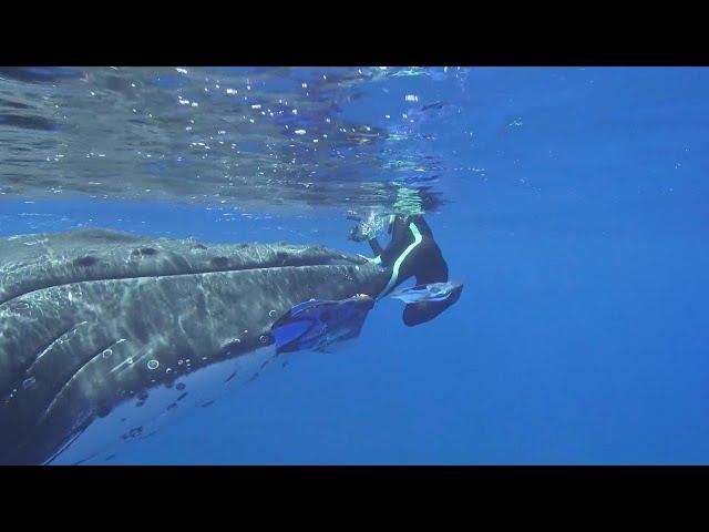 Una ballena protege a una submarinista de un tiburón