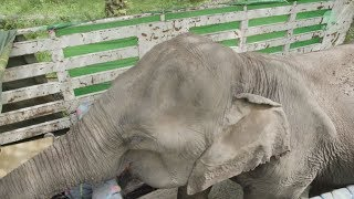 Old elephant Faa Mui rescued from Phang Nga Province.