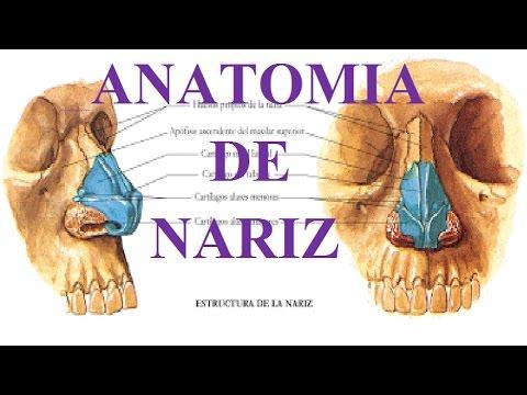 ANATOMÍA DE LA NARIZ - YouTube