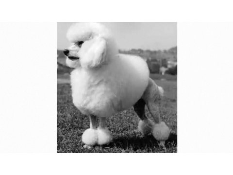 Pros & Cons of a Poodle | Dog Breeds
