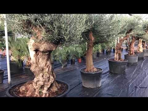 Range of olive trees Big Plant Nursery