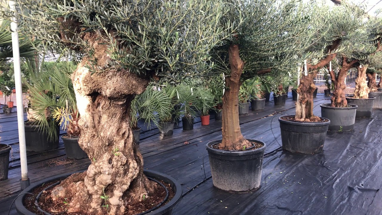 Range Of Olive Trees Plant Nursery