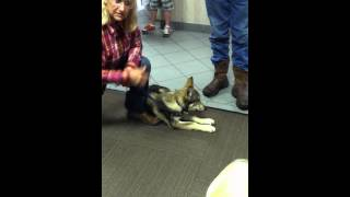 A baby wolf at WALK 97.5 Radio station