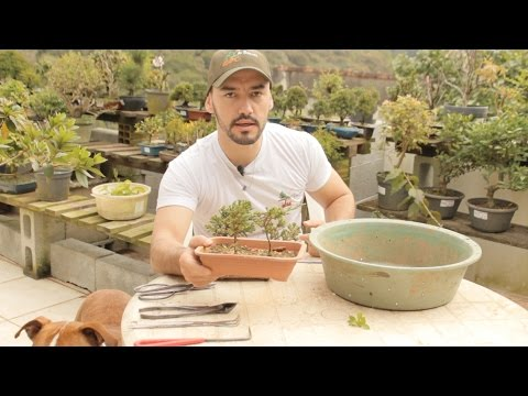 BONSAI PARA INICIANTES - COMO COMEÇAR - ABC DO BONSAI