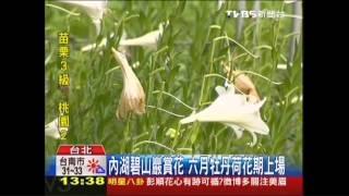 台北市內湖有一處賞花私房景點,就是碧山巖的百合,今年開始種植上千株...
