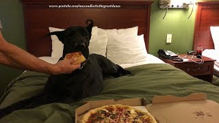 Travelling Great Dane Enjoys a Pizza Party in a Hotel Room