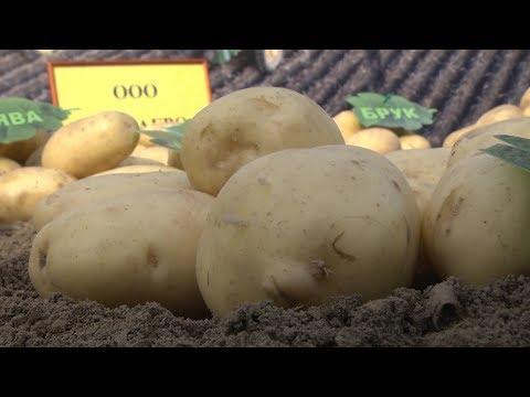 День картошки в Меленках