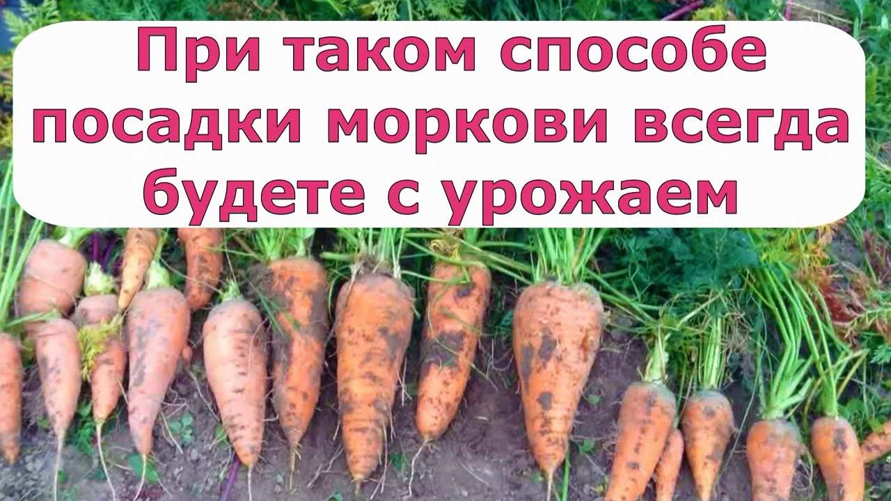 461. При таком способе посадки моркови всегда будете с урожаем