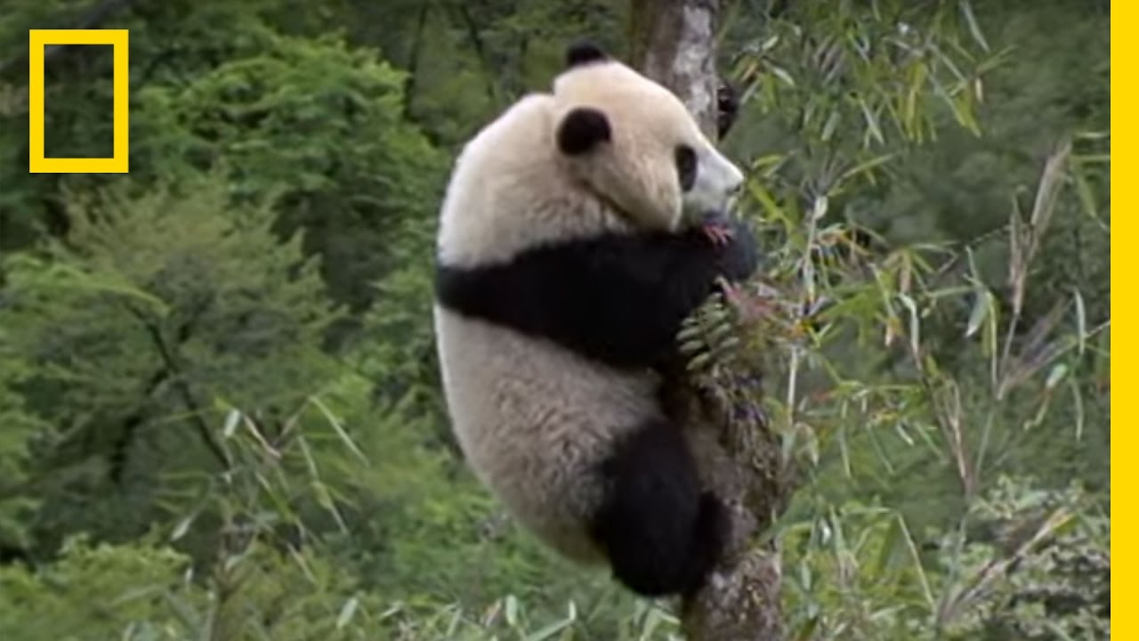 Elusive Giant Panda National Geographic Youtube