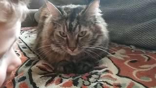 Разговоры норвежской лесной кошки