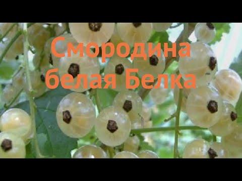 Смородина белая Белка (ribes niveum) �� смородина Белка обзор: как сажать саженцы смородины Белка