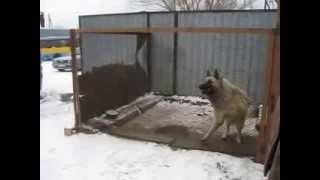 Собака-танцевака в Караганде танцует без музыки