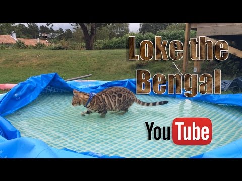 Bengal cats love water