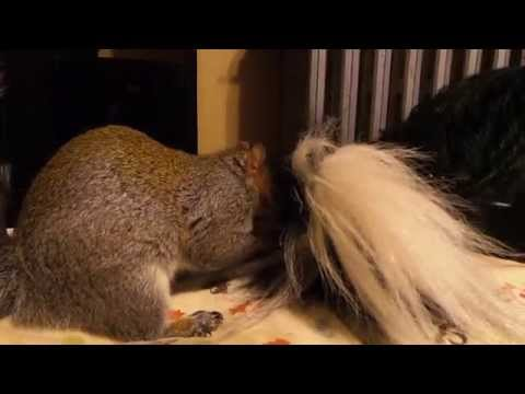 Squirrel hides nuts in Bernese Mountain Dogs tail!