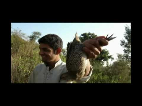Amazing Partridge Hunting with Net and Pointer Pakistan 201