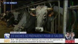 Salon de l'agriculture: Ashley Chevalier nous présente Églantine, l'égérie des vaches gasconnes