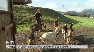 ANIMAUX : La chèvre de Savoie, le caprin des sommets