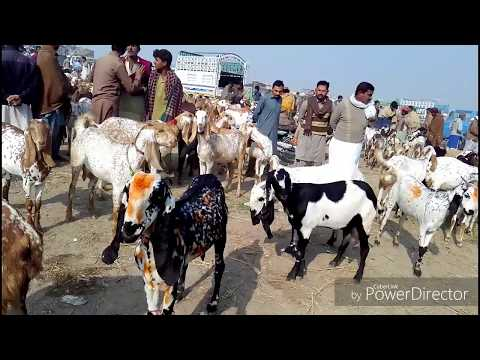 goat farming in punjab goat for sale - YouTube