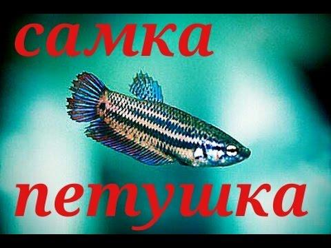 Аквариумные рыбки. Самка