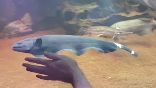 Feeding HUGE (18 inch) Black Ghost Knifefish and 2ft Fire Eel
