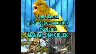 Download SUARA KENARI full tembakan untuk masteran CIBLEK dan MANYAR