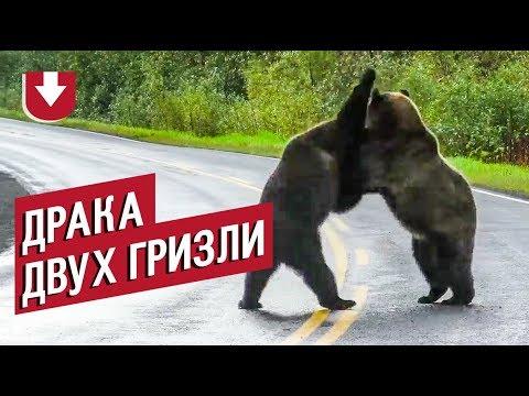 Гризли устроили драку прямо на дороге в Канаде, за всем наблюдал волк