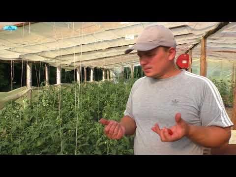 Почему томаты краснеют раньше времени?