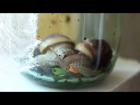Achatina fulica eat
