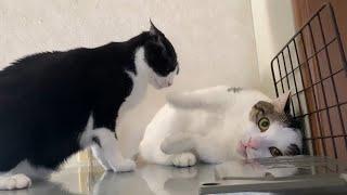 ボコボコにやられる猫をリングサイドから観戦してみました