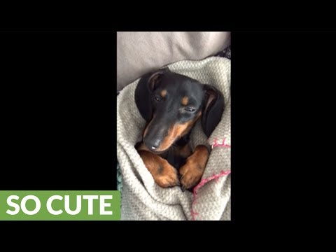 Tucked in dachshund falls asleep while watching TV