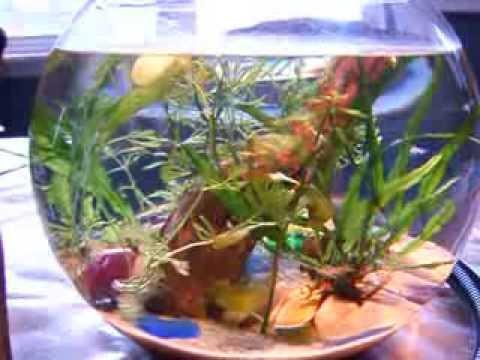 freshwater planted red cherry shrimp bowl